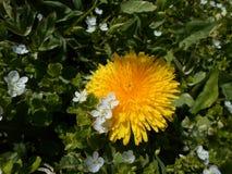 Diente de león amarillo Fotografía de archivo libre de regalías