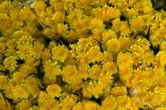 Diente de león amarillo Foto de archivo