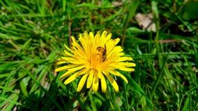 Diente de león amarillo con la abeja, primer Imágenes de archivo libres de regalías