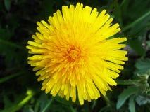 Diente de león amarillo Diente de león brillante de la flor en el fondo del verde Fotografía de archivo libre de regalías