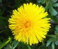 Diente de león amarillo Diente de león brillante de la flor en el fondo del verde Imagen de archivo libre de regalías