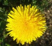 Diente de león amarillo Diente de león brillante de la flor en el fondo del verde Imagenes de archivo