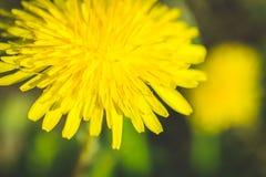 Diente de león amarillo El resorte está aquí Amor de la abeja esta flor Fotografía macra Imágenes de archivo libres de regalías
