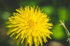 Diente de león amarillo El resorte está aquí Amor de la abeja esta flor Fotografía macra Fotos de archivo