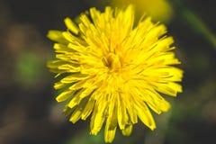 Diente de león amarillo El resorte está aquí Amor de la abeja esta flor Fotografía macra Fotos de archivo libres de regalías