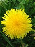 Diente de león amarillo en hierba verde Imagen de archivo libre de regalías