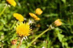 Diente de león amarillo en hierba verde Fotografía de archivo