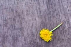 Diente de león amarillo en la madera Imagen de archivo libre de regalías