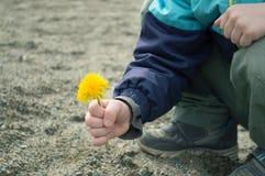 Diente de león amarillo en la mano del ` s del muchacho imagenes de archivo