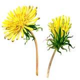 Diente de león amarillo hermoso aislado, ejemplo de la flor de la acuarela Fotos de archivo libres de regalías