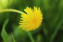 Diente de león amarillo inclinado sobre la hierba Foto de archivo libre de regalías