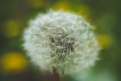 Diente de león blanco El resorte está aquí Amor de la abeja esta flor Fotografía macra Imagenes de archivo