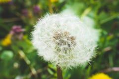 Diente de león blanco El resorte está aquí Amor de la abeja esta flor Fotografía macra Imagen de archivo
