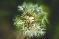 Diente de león blanco El resorte está aquí Amor de la abeja esta flor Fotografía macra Foto de archivo libre de regalías