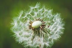 Diente de león blanco El resorte está aquí Amor de la abeja esta flor Fotografía macra Fotografía de archivo libre de regalías