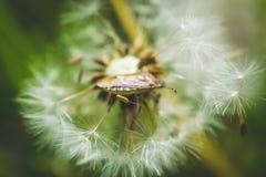 Diente de león blanco El resorte está aquí Amor de la abeja esta flor Fotografía macra Imagen de archivo libre de regalías