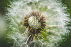 Diente de león blanco El resorte está aquí Amor de la abeja esta flor Fotografía macra Fotografía de archivo