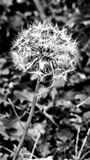 Diente de león blanco y negro fotografía de archivo libre de regalías