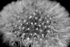 Diente de león blanco y negro Fotos de archivo
