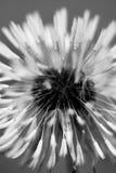 Diente de león blanco y negro Imagen de archivo