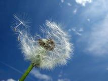 Diente de león, cielo azul Imagen de archivo libre de regalías