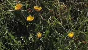 Diente de león común, officinale del taraxacum, florecimiento, abriéndose en prado metrajes