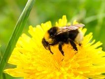Diente de león con la abeja Fotografía de archivo libre de regalías