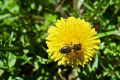 Diente de león con la abeja Imagen de archivo libre de regalías