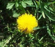 Diente de león con la abeja en fondo del prado verde Imagenes de archivo