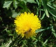 Diente de león con la abeja en fondo del prado verde Fotos de archivo libres de regalías