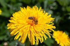 Diente de león con la abeja en verano Fotos de archivo