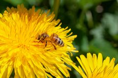 Diente de león con la abeja de la miel en verano Imagenes de archivo