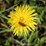 Diente de león con la abeja que se sienta en su flor Imagenes de archivo