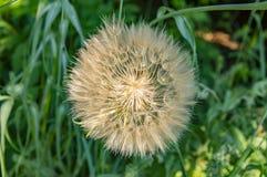 Diente de león con las semillas en un fondo de la hierba verde imagen de archivo libre de regalías