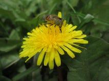 Diente de león con una abeja 2 imágenes de archivo libres de regalías
