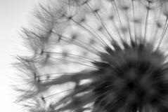Diente de león, contorno blanco y negro fotografía de archivo