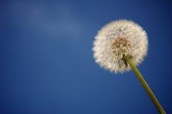 Diente de león contra el cielo azul profundo fotografía de archivo libre de regalías