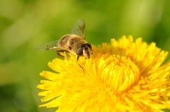 Diente de león de la abeja Fotos de archivo