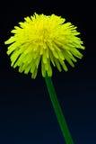 Diente de león de la flor Fotos de archivo libres de regalías