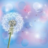 Diente de león de la flor en azul claro - fondo rosado Fotografía de archivo