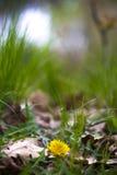 Diente de león de la flor entre hierba Imagenes de archivo