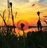 Diente de león de la puesta del sol Imagen de archivo libre de regalías