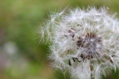 Diente de león del verano debajo del viento Imagenes de archivo