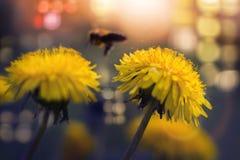 Diente de león dramático con la abeja Imagenes de archivo