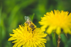 diente de león El resorte está aquí Amor de la abeja esta flor Fotografía de archivo libre de regalías