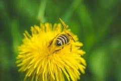 diente de león El resorte está aquí Amor de la abeja esta flor Imágenes de archivo libres de regalías
