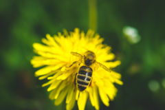 diente de león El resorte está aquí Amor de la abeja esta flor Foto de archivo libre de regalías