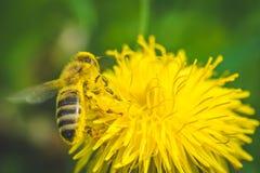 diente de león El resorte está aquí Amor de la abeja esta flor Fotografía de archivo