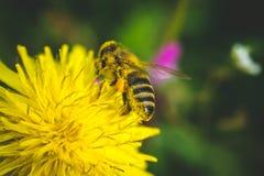 diente de león El resorte está aquí Amor de la abeja esta flor Fotos de archivo libres de regalías