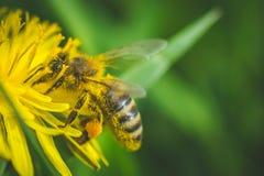diente de león El resorte está aquí Amor de la abeja esta flor Imagen de archivo